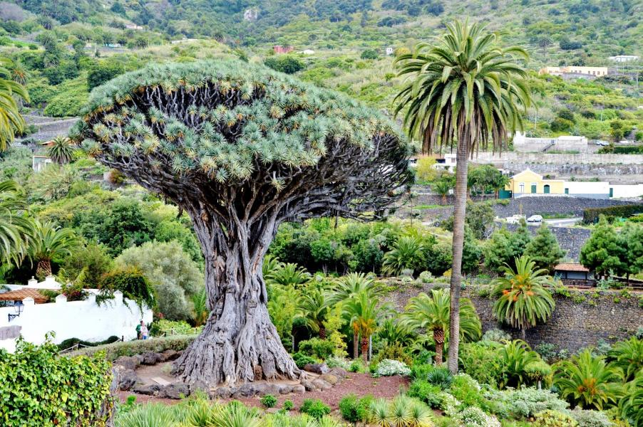 Drachenbaum von Icod