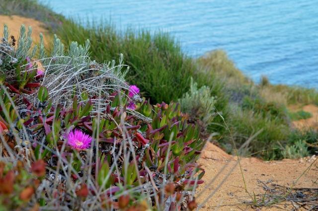 Steilküste  Olhos de Agua, Blütenpracht