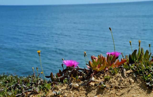 Steilküste  Olhos de Agua,Blütenpracht